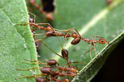 Μυρμήγκι, κόκκινο μυρμήγκι Στοκ Φωτογραφίες