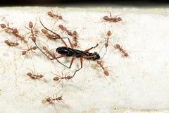 Μυρμήγκι, κόκκινο μυρμήγκι Στοκ Εικόνα