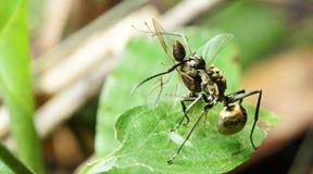 Μυρμήγκι, μαύρο μυρμήγκι Στοκ φωτογραφίες με δικαίωμα ελεύθερης χρήσης