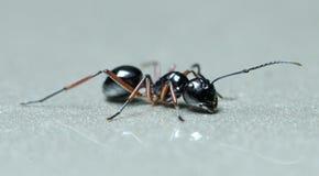 Μυρμήγκι, μαύρο μυρμήγκι Στοκ Φωτογραφίες