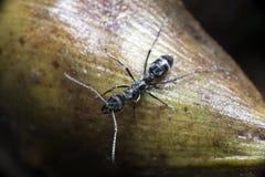 Μυρμήγκι, μαύρο μυρμήγκι Στοκ φωτογραφία με δικαίωμα ελεύθερης χρήσης