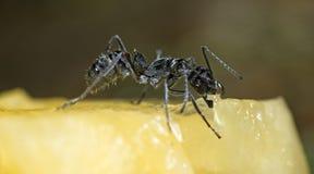 Μυρμήγκι, μαύρο μυρμήγκι Στοκ εικόνα με δικαίωμα ελεύθερης χρήσης