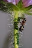 Μυρμήγκι με τα fretters αμπέλων Στοκ φωτογραφία με δικαίωμα ελεύθερης χρήσης