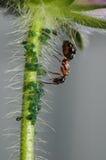 Μυρμήγκι με τα fretters αμπέλων Στοκ Φωτογραφία