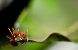 Μυρμήγκι με την άδεια Στοκ Φωτογραφία