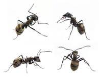 Μυρμήγκι που απομονώνεται στο λευκό στοκ φωτογραφία με δικαίωμα ελεύθερης χρήσης
