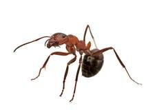 μυρμήγκι που απομονώνετα Στοκ εικόνες με δικαίωμα ελεύθερης χρήσης