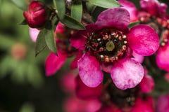 Μυρμήγκι που περπατά σε ένα κόκκινο λουλούδι Στοκ Εικόνα
