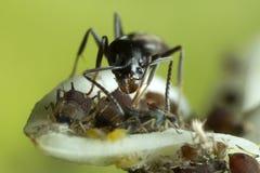 Μυρμήγκι που συγκεντρώνει Aphids Στοκ φωτογραφία με δικαίωμα ελεύθερης χρήσης