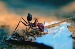Μυρμήγκι που τρώει τα περισσεύματα σοκολάτας Στοκ φωτογραφίες με δικαίωμα ελεύθερης χρήσης