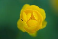 Μυρμήγκι σε ένα κίτρινο Kingcup Στοκ φωτογραφία με δικαίωμα ελεύθερης χρήσης