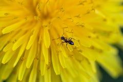 Μυρμήγκι σε μια πικραλίδα Στοκ φωτογραφία με δικαίωμα ελεύθερης χρήσης