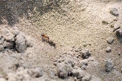 Μυρμήγκι στην άμμο Στοκ Εικόνες