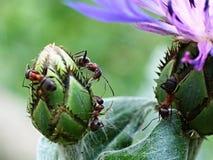 Μυρμήγκι στον κάρδο Στοκ εικόνα με δικαίωμα ελεύθερης χρήσης