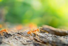 Μυρμήγκι στο μικρό κόσμο μετά από τον ηγέτη Στοκ Εικόνες