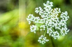 Μυρμήγκι στο λουλούδι Στοκ Φωτογραφία