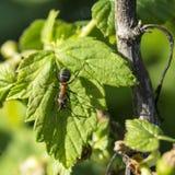 Μυρμήγκι στο πράσινο φύλλο της σταφίδας Στοκ φωτογραφία με δικαίωμα ελεύθερης χρήσης