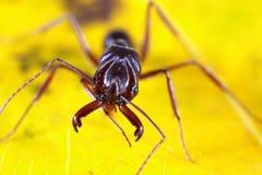 Μυρμήγκι στο φύλλο Στοκ Εικόνες