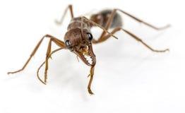 Μυρμήγκι 86 του Bull Στοκ εικόνες με δικαίωμα ελεύθερης χρήσης