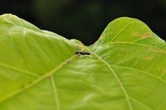 μυρμήγκι το μαύρο Ισημερι&n Στοκ Φωτογραφίες