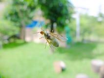 Μυρμήγκι υφαντών βασίλισσας Στοκ εικόνα με δικαίωμα ελεύθερης χρήσης