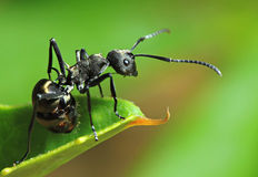 Μυρμήγκι Στοκ Φωτογραφία