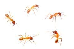 μυρμήγκι Στοκ Εικόνες