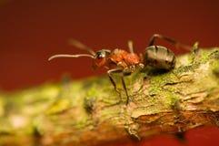 Μυρμήγκι - formica Στοκ Εικόνα