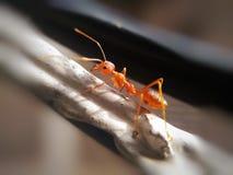 ΜυρμήγκιTheΣτοκ φωτογραφία με δικαίωμα ελεύθερης χρήσης