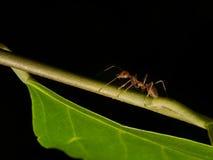 Μυρμηγκιού και κόσμος aphis Στοκ Εικόνα