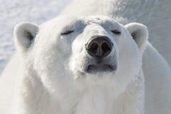 Μυρωδιά πολικών αρκουδών στοκ εικόνες