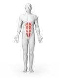 Μυς ABS διανυσματική απεικόνιση