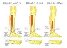 Μυς longus Peroneus Στοκ Εικόνες
