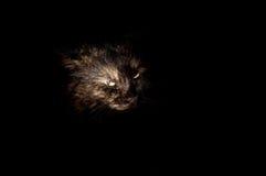 Μυστήρια γάτα σε μια μαύρη ανασκόπηση Στοκ Εικόνες