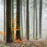 Μυστήρια ομίχλη στο πράσινο δάσος Στοκ Φωτογραφία
