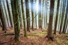 Μυστήρια ομίχλη στο πράσινο δάσος Στοκ Φωτογραφίες