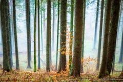 Μυστήρια υδρονέφωση στο δάσος φθινοπώρου Στοκ Εικόνα