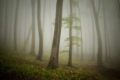 Μυστήριο ethereal δάσος με τα δέντρα γουρνών ομίχλης Στοκ Εικόνες