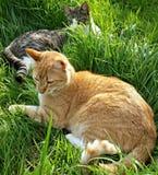 Μυστικές γάτες Στοκ Φωτογραφίες