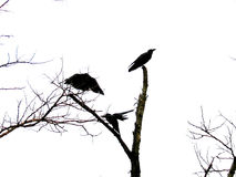 μυστικότητα κοράκων Στοκ εικόνα με δικαίωμα ελεύθερης χρήσης