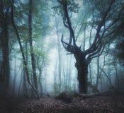 Μυστικό δάσος φθινοπώρου στην ομίχλη το πρωί παλαιό δέντρο Στοκ Φωτογραφίες