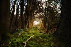 Μυστικό δασικό μονοπάτι με το βρύο που οδηγεί μεταξύ των σκοτεινών δέντρων τ Στοκ Φωτογραφία