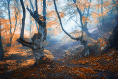 Μυστικό δάσος φθινοπώρου στην ομίχλη το πρωί παλαιό δέντρο Στοκ εικόνα με δικαίωμα ελεύθερης χρήσης