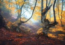Μυστικό δάσος φθινοπώρου στην ομίχλη το πρωί παλαιό δέντρο Στοκ Εικόνα
