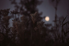 Μυστικό υπόβαθρο του λιβαδιού με την ψηλή χλόη και των λουλουδιών κοντά στο κωνοφόρο δάσος τη νύχτα στο φως πανσελήνων Στοκ Εικόνα