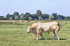 Μυϊκός ξανθός ταύρος δ ` Aquitaine στοκ εικόνες
