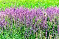 Μωβ πορφυρά λουλούδια angustifolia Lavandula σε έναν πράσινο τομέα Στοκ Εικόνες