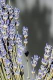 Μωβ πορφυρά λουλούδια angustifolia Lavandula, lavender Στοκ Εικόνες