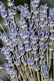 Μωβ πορφυρά λουλούδια angustifolia Lavandula, lavender Στοκ Φωτογραφίες