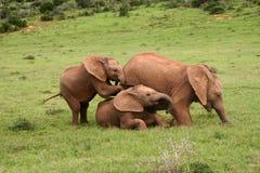 Μωρά ελεφάντων Στοκ Φωτογραφία